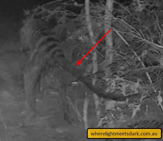 Tasmanian tiger sightings map